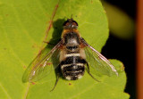 Villa nigropecta; Bee Fly species