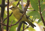 Scarlet Tanager; female
