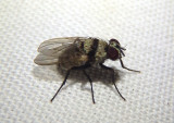 Anthomyia illocata; Root-Maggot Fly species; exotic