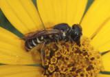 Sayapis Leaf-cutter Bee species; female