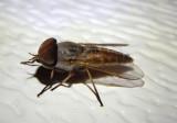 Tabanus lineola; Striped Horse Fly; male
