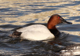 Canvasback; male