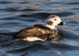 Long-tailed Duck; immature male