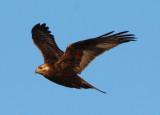 Rough-legged Hawk; dark morph juvenile