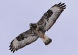 Rough-legged Hawk; light morph