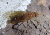 Suillia Heleomyzid Fly species