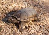 Sonora Mud Turtle