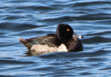 Ring-necked Duck; male