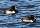 Ring-necked Ducks; males