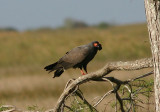Snail Kite; male with Apple Snail