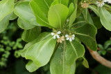 Beach Naupaka, Scaevola taccada (Goodeniaceae)