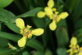 Yellow Walking Iris, Neomarica longifolia (Iridaceae)