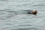 Northern Sea Otter (Enhydra lutris kenyoni)