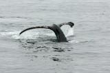 humpback fluke 3