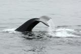 humpback fluke 1