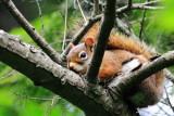 Red Squirrel (Tamiasciurus hudsonicus )