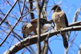 Cooper's Hawks (Accipiter cooperi)