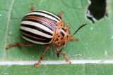 Family Chrysomelidae - Leaf Beetles