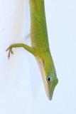 Cuban Green Anole (Anolis porcatus)