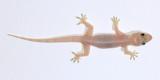 House Gecko (Hemidactylus cf. frenatus)
