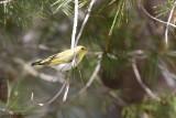 Fluiter / Wood warbler
