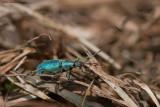 Phyllobius argentatus / Groene Snuitkever
