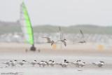 Thalasseus sandvicensis / Grote Stern / Sandwich tern