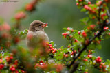 Huismus / House sparrow