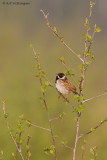 Rietgors / Common Reed Bunting