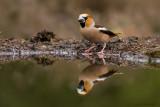 Appelvink / Hawfinch