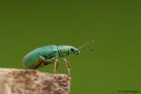 Polydrusus sericeus / Groene Struiksnuitkever