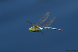 Anax imperator /  Grote Keizerlibel / Emperor Dragonfly