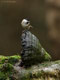 Glanskop / Marsh Tit