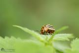 Leptinotarsa decemlineata / Coloradokever / Colorado potato beetle