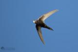 Gierzwaluw / Common swift
