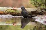 Merel / Common Blackbird