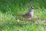 white-crowned-sparrow-62934.jpg