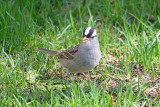 white-crowned-sparrow-62936.jpg