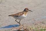 Sandpipers and Plovers