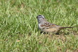 White-Crowned-Sparrow--84109.jpg