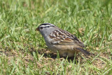 White-Crowned-Sparrow-84108.jpg