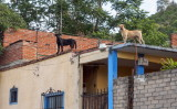 No lack of barking dogs in Oaxaca. Some are feral, many spend most of their lives on the roof of their owner's house.