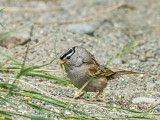 Odd Looking White-crowned Sparrow