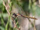 Dragonflies of the Northwest