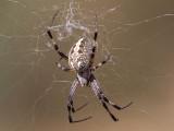 Orb Weaver Spider female