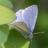 Echo Azure (Celastrina echo)