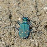 Western Tiger Beetle (Cicindela oregona)