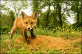 foxdave