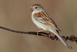 field sparrow 34