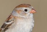 field sparrow 35